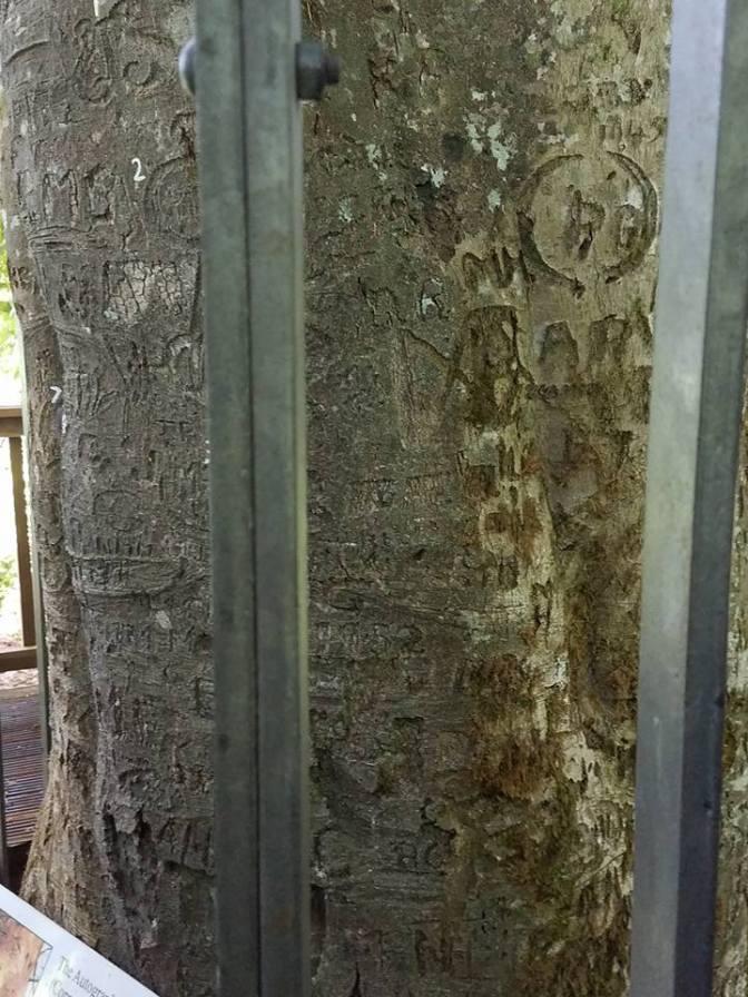 autograph tree